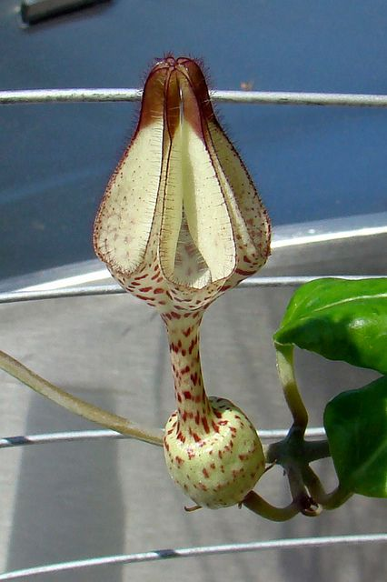 Ceropegia albisepta by ceropegia, via Flickr: