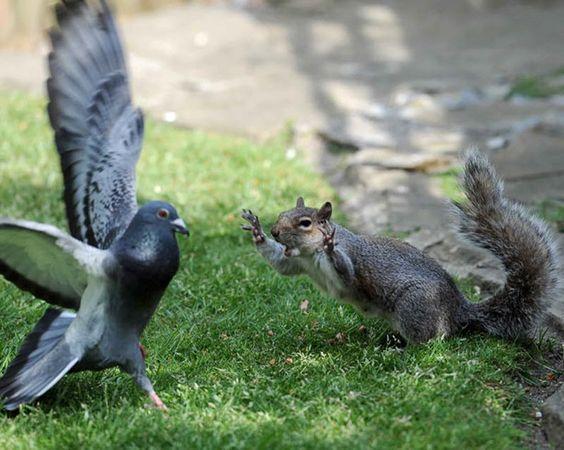Parece que algunas ciudades ya ha encontrado el modo de terminar con la plaga descontrolada de palomas. Consiste en dejar sueltas unas cuantas ardillas ent