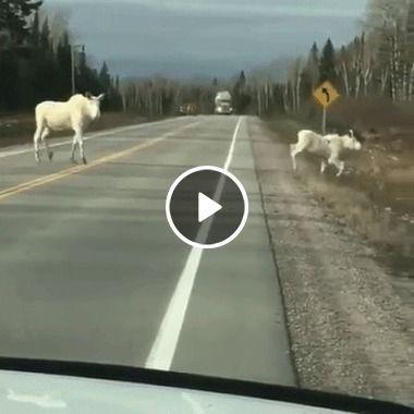 Animais na pista vamos ter cuidado