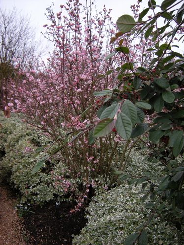 viburnum bodnantense dawn easy to grow in sun or. Black Bedroom Furniture Sets. Home Design Ideas