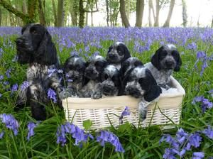 Blue Roan Cocker Spaniel Mother and Litter Rojoys Busy Being Fabulous