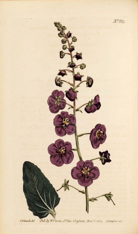 Verbascum phoeniceum (Purple-Flowered Mullein) - Plate 885