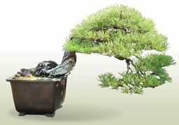 Akamatsu (pino rojo japonés)