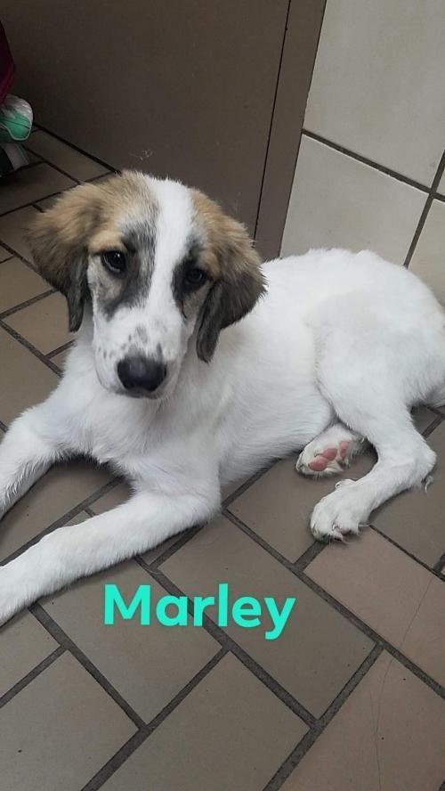 Adopt Marley On Pet Adoption Labrador Retriever Pets