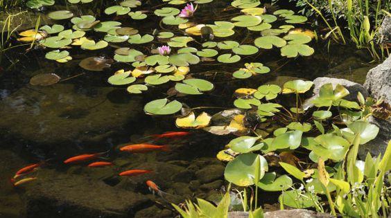 Passende Pflanzen und Fische für den Gartenteich  Wenn Sie die Grundlage für Ihren Gartenteich gelegt haben, Becken und Wasser vorhanden sind, dann können Sie mit dem schönsten Teil beginnen: Siedeln Sie viele verschiedene Pflanzen und vielleicht sogar einige Fische in Ihrer privaten grünen Oase an. Welche Arten sich hierfür eignen, lesen Sie hier.