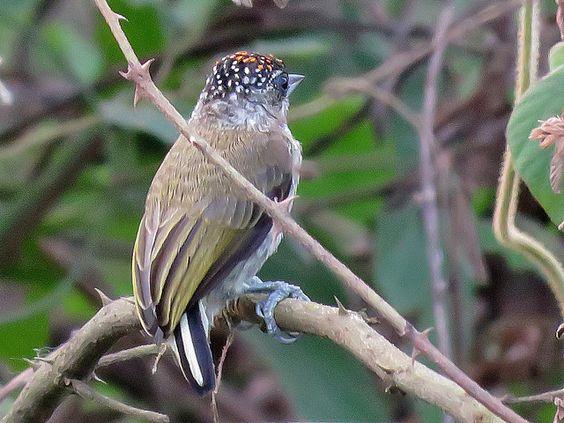 Foto pica-pau-anão-de-barras-sutis (Picumnus subtilis) por Henrique Moreira | Wiki Aves - A Enciclopédia das Aves do Brasil