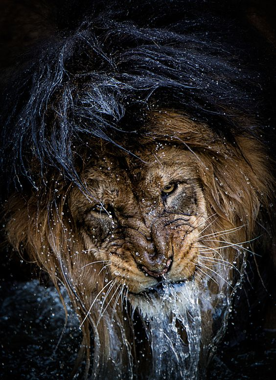 500px ISO » Beautiful Photography, Incredible Stories » Exclusive: The Story Behind the Most Intense Lion Portrait