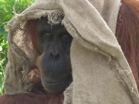 Orangutan from the Chester Zoo is covering up from the Sun on this Hot bank holiday weekend in England.