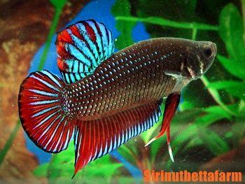 Betta on pinterest for Wild betta fish