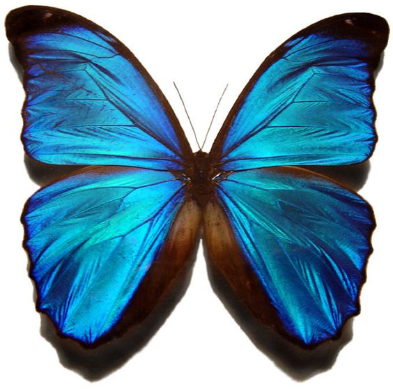 mariposa azul ^^