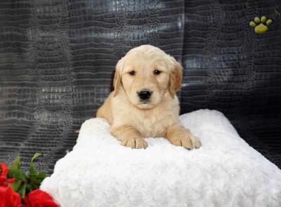 Pin By Ann Bowden On Dogs Golden Retriever Retriever Puppy Golden Retriever Puppy