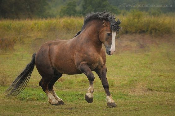 Polish Draft Horse stallion (sztumski) Dryl —
