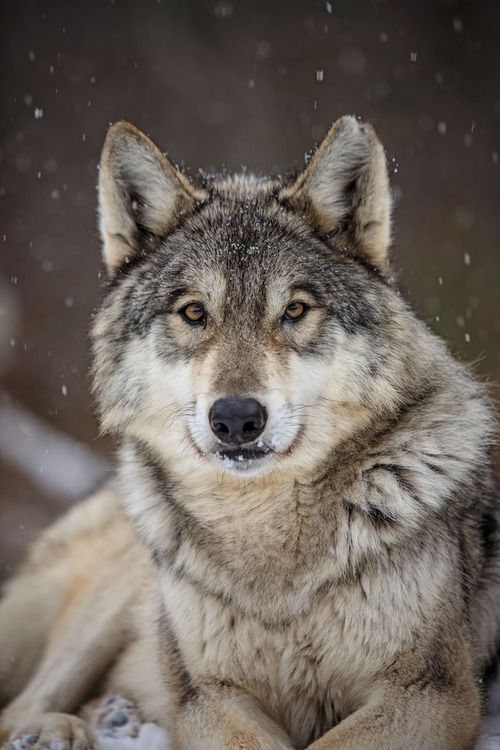 speech the gray wolf Synonyms for grey wolf in english including definitions, and related words.