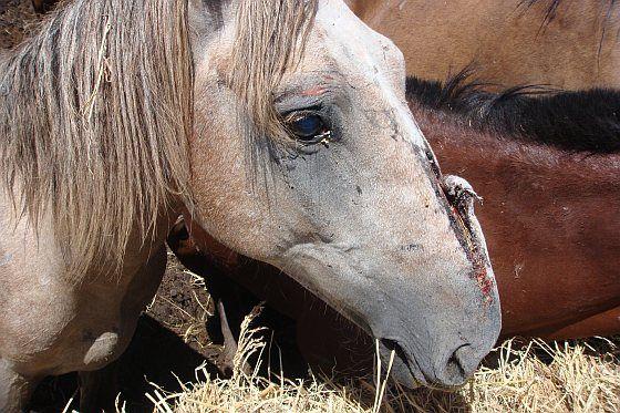 Pétition contre la viande de cheval vendu aux Pays-Bas. E-mail en petitie-actie: Stop de gruwelijke lijdensweg van slachtpaarden voor Nederlandse consumptie