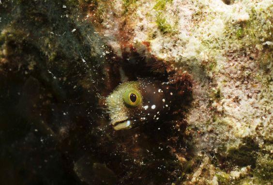 Acanthemblemaría Spinosa: http://www.wikimarino.com/pez/acanthemblemaria-spinosa/