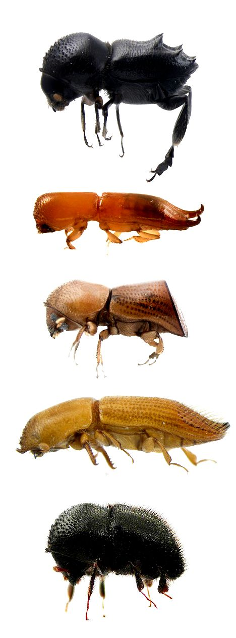 Ambrosia beetles species diversity