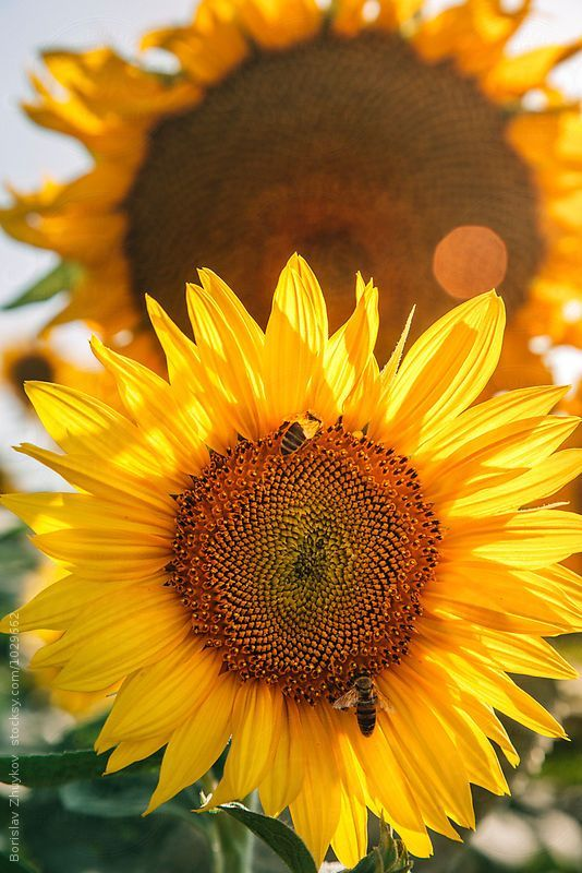 I Love Sunflowers Allergies Acfilters4less Sunflower Pictures Sunflower Wallpaper Sunflower