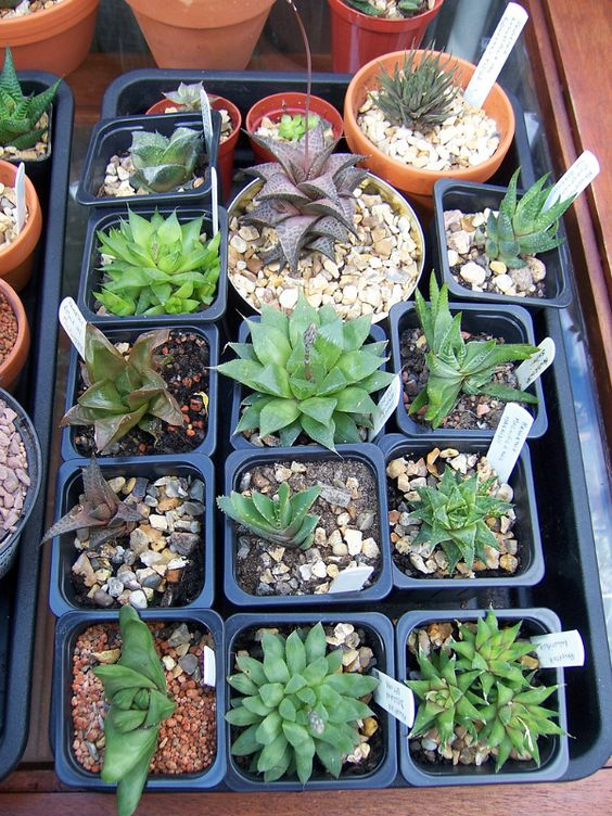 Different types of haworthia shade tolerant succulents for How much sunlight do succulents need