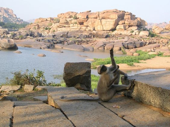 Singe - Hampy - Inde