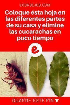 Como Acabar Con La Plaga De Cucarachas Chiquitas 7 Remedios Caseros Para Eliminar Las Cucarachas Y Sus Huevecillos
