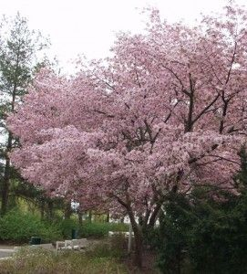 Rusokirsikka – Prunus sargentii