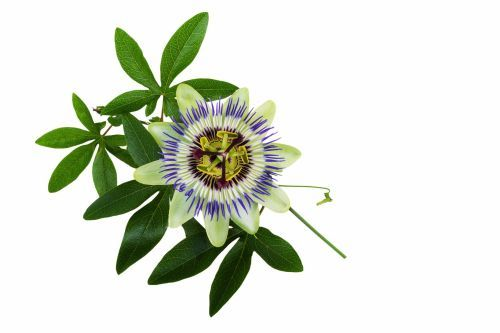 Imagen Relacionada Passion Flower Passion Flower Benefits Nighttime Allergies