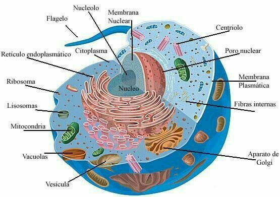 Pin By David Hinojosa On Celula Animal Para Colorear Animal Cell Project Cells Project Plant And Animal Cells