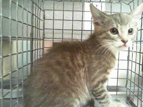 Help This Cat Find A Home Domestic Short Hair Mixed Medium Coat In Las Vegas Nv Cat Pets Pet Adoption Petsnearme Pet Adoption Pets Dog Adoption