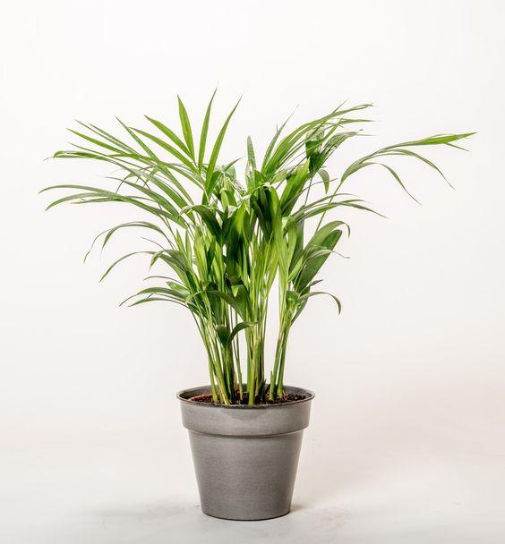 Kentia Palme Howea Forestiana Gunstig Online Kaufen Palmen Kentia Palme Pflanzen