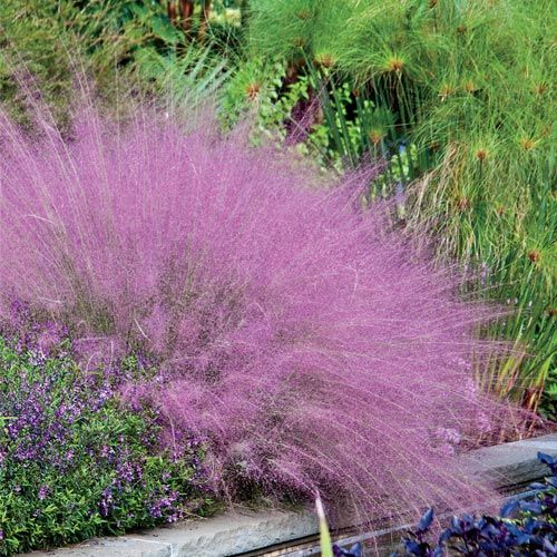 Pink Muhly Grass -extremely easy, thrives despite heat, humidity, drought, even poor soil!