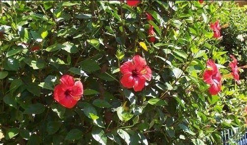 Gambar Bunga Kembang Sepatu Beserta Bagian Bagiannya Bunga Kembang Sepatu Dan Bagian Bagiannya Berserta Fungsinya Berikut Ini B Di 2020 Kembang Sepatu Bunga Tanaman