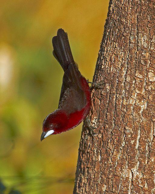 Pipira-vermelha (Silver-beaked Tanager) by Bertrando©, via Flickr