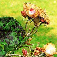Mittel Gegen Mehltau biologische mittel gegen mehltau braunfäule rost und sternrußtau