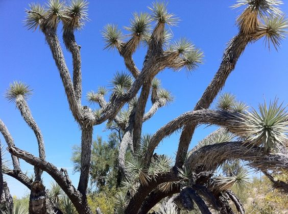 joshua trees in arizona | Joshua Tree