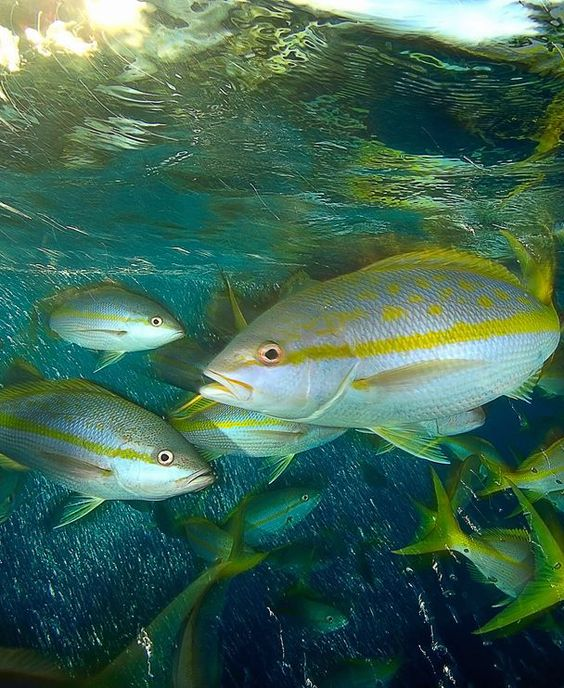 Find out more about yellowtail snappers, the Caribbean sea's favorite native.   #islandescape #getaway #wildlife #island #luxurytravel #absoluetravel