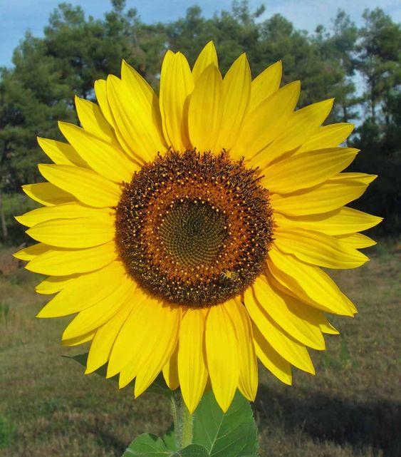 honey bee on the giant sunflower