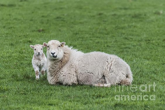 What a precious baby #lamb with his mother by Steve Purnell Photography #springphotos #animals #sheep