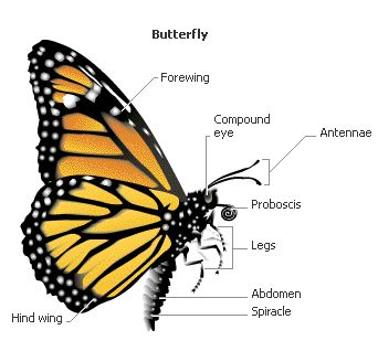 Butterfly Anatomy Butterflies And Moths Pinterest