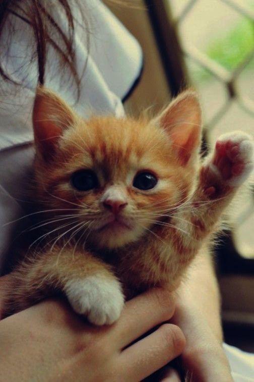 Wonderful Kittens For Sale Near Me Superb Cute Animals Kittens Cutest Cute Cats
