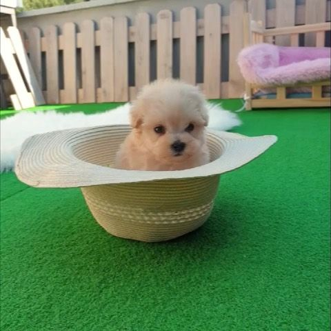 Attention Please She S The Loveliest Maltipoo In The World