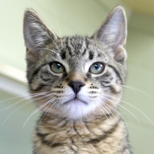Hi I M Julia I M A 3 Month Old Spayed Female Brown Tabby Domestic Short Hair Browntabby Tabby Cat Orange Tabby Cats Tabby Kitten