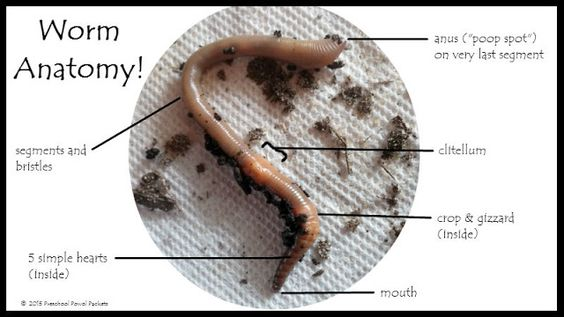 Worm Anatomy Science for Preschoolers! | Preschool Powol Packets