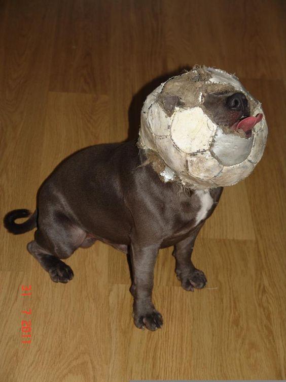 "Hahaha, akkurat som å se ""vår"" hund, eeeeeelsker ball. Staffy love…"