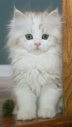 Kittens For Free Adoption Near Me Its Cute Animals Pictures To Print Cute Fluffy Kittens Kittens Cutest Fluffy Kittens
