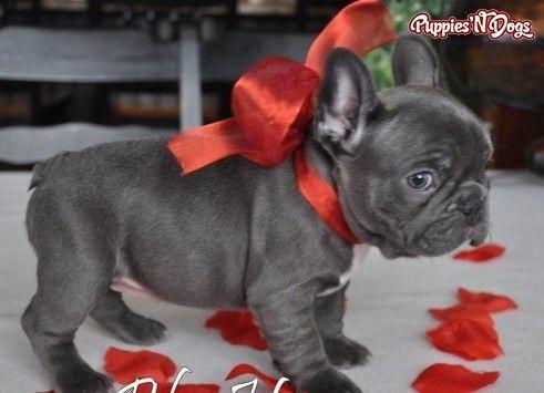 French Bulldog Puppies Bulldogs French Bulldog Puppies Bulldog