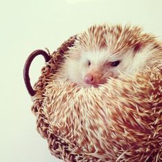 Here's a #hedgehog to make your day! #cute #pets #spiffypets