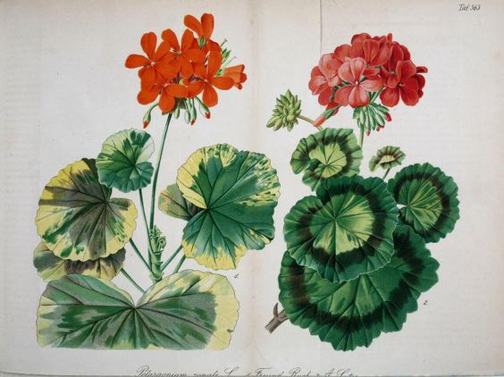 Gartenflora; zeitschrift für garten- und blumenkunde   Volume: bd. 17 1868