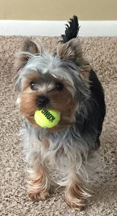 Pickles loves to play catch! Submitted by: Beth Lixey  ....THANKS FOR SHARING....  SHAREYOURYRKIE  at http://bit.ly/1QzAOHV  Original post at: http://bit.ly/29InsA9