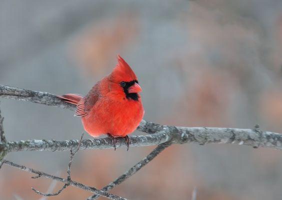 Cardinal Rouge // Rotkardinal // Cardeal // Northern Cardinal (Cardinalis Cardinalis) © Randy Fox