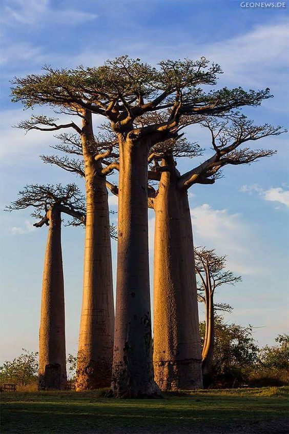 I love baobab trees! In Africa I was told a very sweet legend about how they got their unique look; humans upset the gods so they took the tree and turned it upside down to show their disapproval   SV